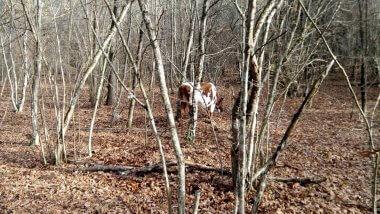 Корова в лесу